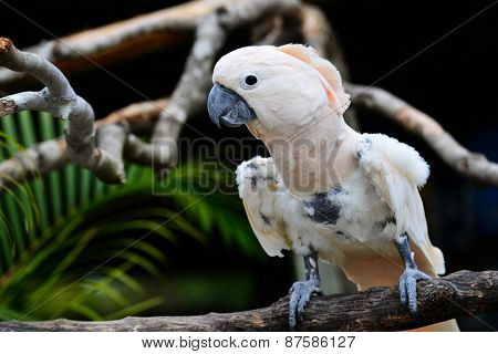 White parrot - Scarlat Macaw