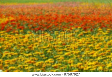 Colorful Marigold Flowers Blurred Background