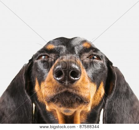 Cute Dachshund Dog