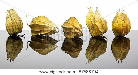 Physalis On Refective Background
