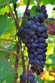 stock photo of grape  - close on a black grape in vineyard - JPG