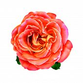 picture of mona lisa  - Pink Rose Flower with little green leaves - JPG