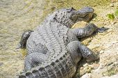 picture of alligator  - American Alligator Sunbathing on a Riverbank Closeup - JPG
