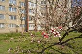 pic of apricot  - Apricot flowers are blooming in spring among the buildings in the center of the town - JPG