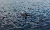 image of sevastopol  - Herring gull and coot wintering on the Black sea coast - JPG