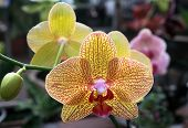stock photo of yellow orchid  - beautiful Yellow streaked orchid Phalaenopsis and bud closeup - JPG