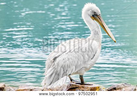 American White-pelican.