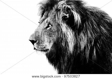 Lion, Black And White