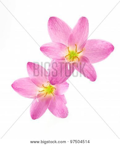 Zephyranthes Lily, Rain Lily ,fairy Lily, Little Witches In Pink Color Isolated With