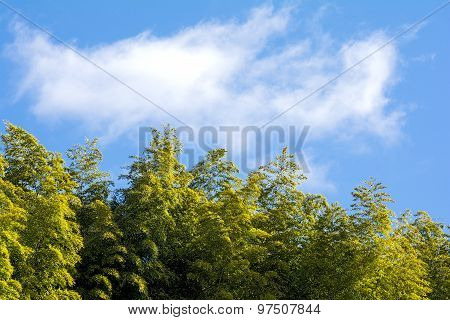 Bamboo forest and sky