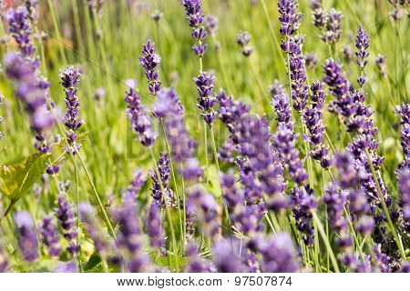 Purple Lavender Field, Closeup Image, Lavandula Angustifolia