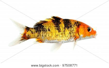 Koi Fish Isolated On The White Background