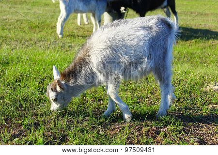 Goat Kid On The Pasture