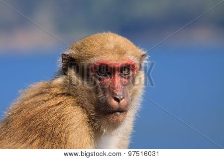 Ape Monkey In Wilderness Looking With Eyes Contact To Camera