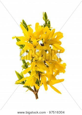 Blossoming Forsythia. Spring Flowers Isolated On White