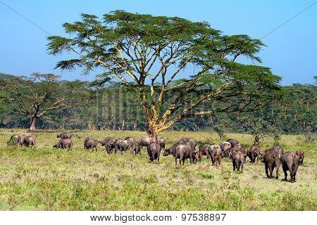 Savanna With Acacia Trees