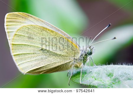 Butterfly Pollinating A Flower. Pieridae