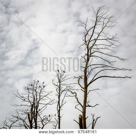 Dead Pine Trees. Juodkrante, Lithuania