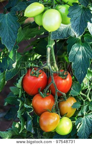 Ripening bush tomatoes in a greenhouse