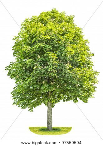Chestnut Tree Isolated On White Background. Blosoming Spring Plant