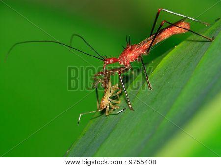 Assassin bug at lunch - Peru, Mnau park