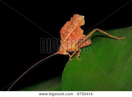 Leaf-like Katydid - Peru, Manu park