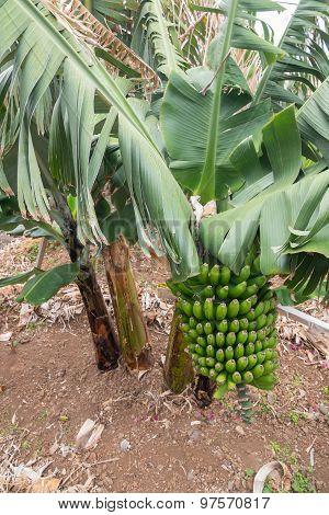 Bunch Of Bananas On A Banana Tree