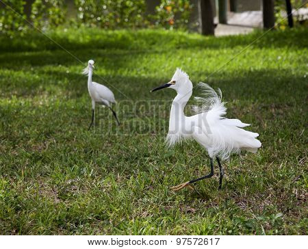 Two white egret with ruffled feathers protecting territory. White Crane