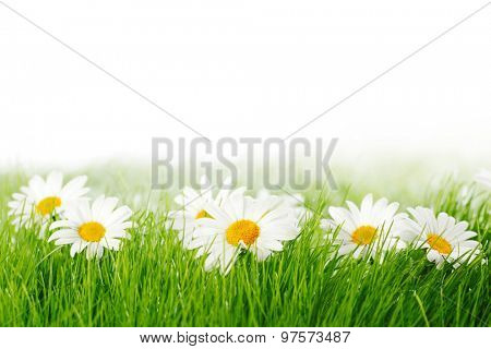 Spring meadow with daisies in grass isolated on white background
