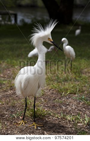 White egret with ruffled feathers protecting territory. White Crane