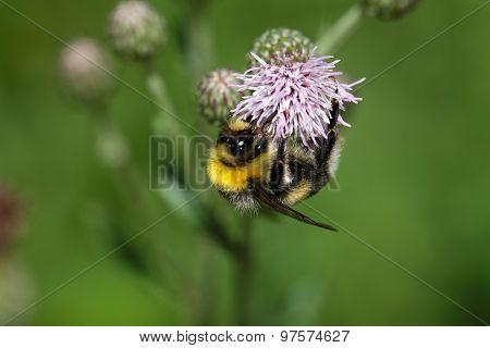 Garden Bumblebee Bombus Hortorum