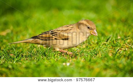 Sparrow on green grass