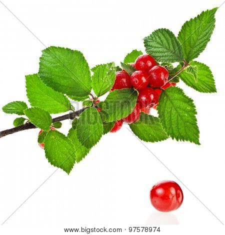 Prunus tomentosa cherry ripe fruit on the branch  isolated on white background