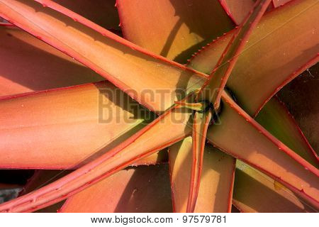 Aloeaceae, Aloe Buettneri, West African Savannas