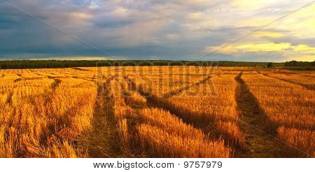 golden field of rye