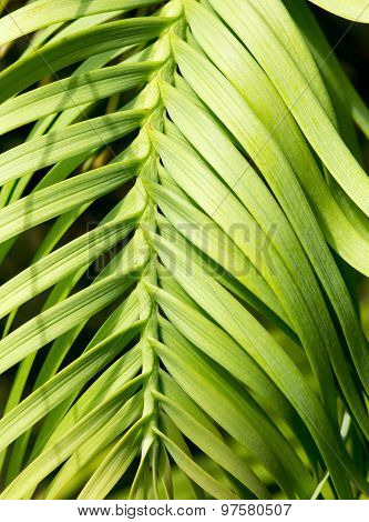 Wollemi Pine Living Fossil Plant