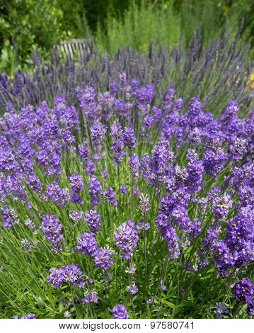 Lavender Flowers In Cottage Garden