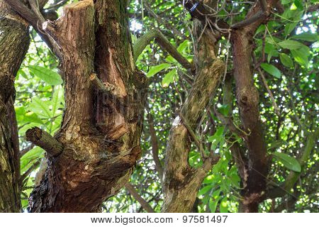 Old Twisting Tree Branches Of Mountain Laurel