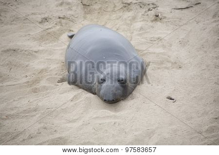 Male Seelion Crawling At The Beach