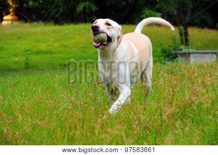 Running happy labrador