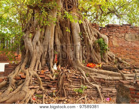 Head Of Buddha Under A Fig Tree, Ayutthaya