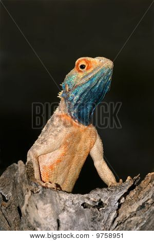 Ground Agama, South Africa