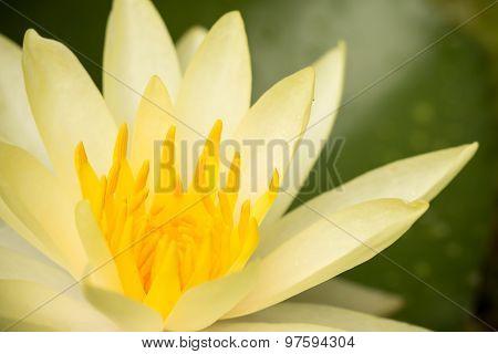 Cream  Lotus