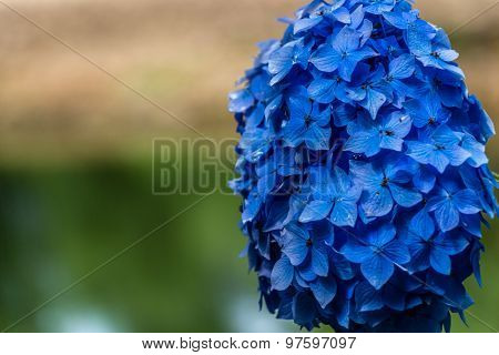 Hydrangea or hortensia blue flower