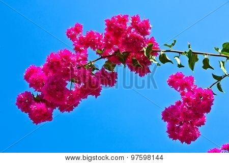 Beautiful Red Bougainvillea With Blue Sky
