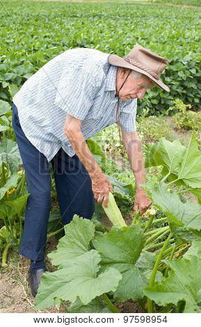 Peasant Harvesting Zucchini