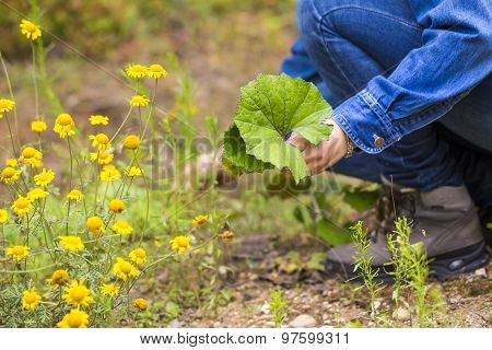 Woman Picking Clotsfoot Leaves For Drying