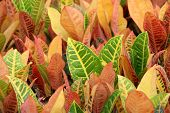 image of crotons  - details of many croton on the markets  - JPG