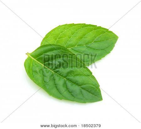 Blätter der Minze auf weißem Hintergrund