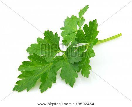 Branch of fresh parsley